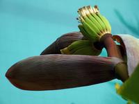 banana plant above pool