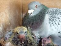 Racing pigeon 5