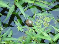 Lettuce Lake in Florida, snail