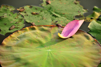 Summer Lotus 1