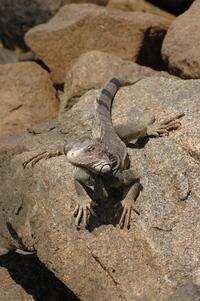 Lizards of Aruba 2
