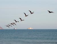 Pelicans Gliding