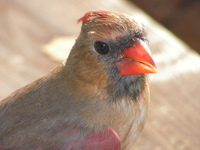 North Carolina Female Cardinal 3