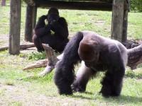 gorillas 23