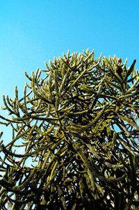 Monkey Puzzle Tree (Araucaria