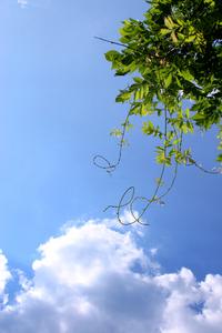 Vines in The Sky