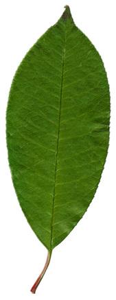 Pastel Leaf 1