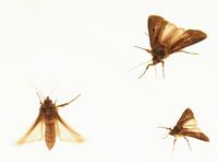 Three Moths R1