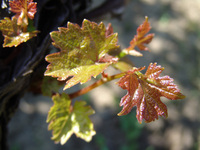 vine leafs in the sun