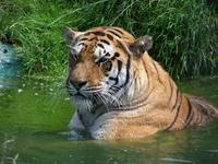 tiger bathing
