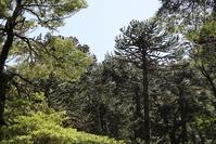 Nature, Araucarias