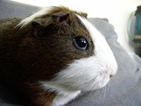 guinea-pig nr2