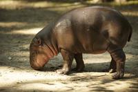 Hippopotamus's calf