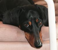 Miniature dachshund 02