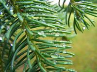 Drips on a fir tree