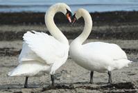 Love Swan's