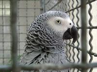 grey-parrott