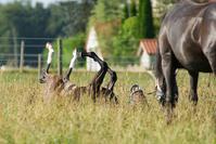 Quarter Horse Foal rolling in Grass