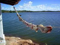 Fish - Curimatan - CE - Brasil