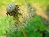Dandilions weeds 2