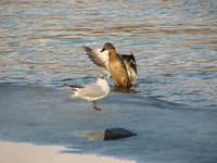 Duck-dance
