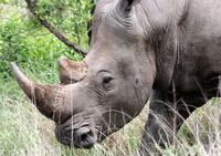 White Rhino Close-ups 4