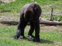 gorillas 18