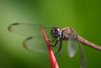 Caribbean Dragonfly