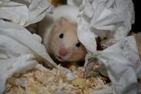 ziggy the hamster