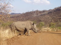 Rhino at Pilanesberg reserve
