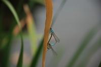 Damselfly, Ischbura elegans 1