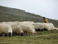 shepherd 1