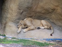 lions 63
