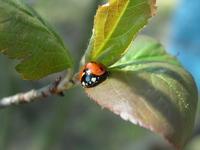 ladybird on the leaf1