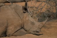 Rhinoceros 18