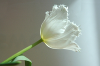 Tulips again