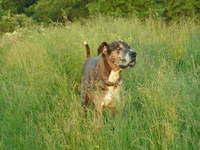 Dog Herman
