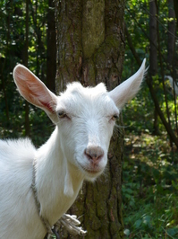 Family of goats 3