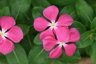 purple pink red flower-My Uncle's Garden