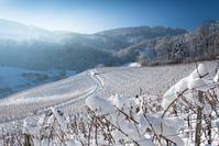 White Vines 2