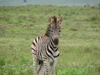 Zebra in Africa 4