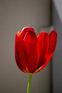 Red Tulip & evening sun