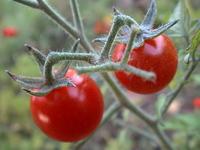 Tomatoe 1