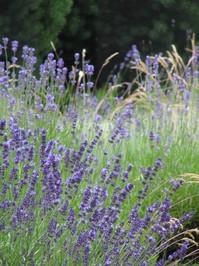 Lavendel / Lavender 3