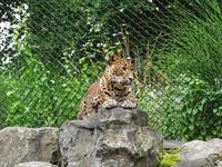 Panther big cat