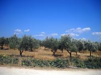 olives plantation