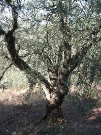 Ancient Olive Trees 2