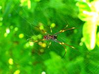 golden orb spider 1