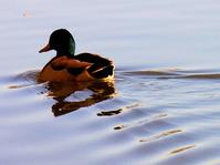 Duck in water 2