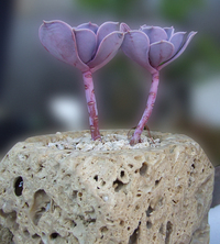 Echeveria pearl von nuremberg
